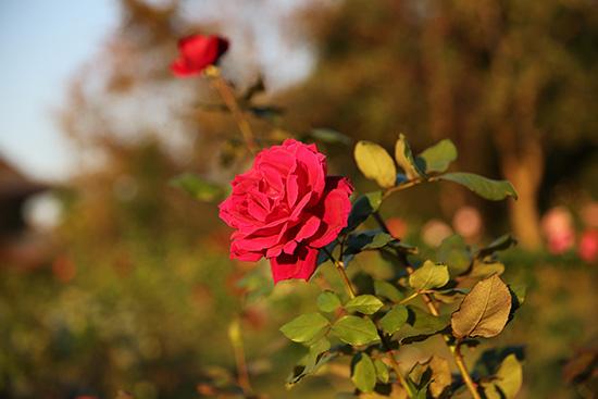 ザ・プリンスパークタワー東京の庭に咲いていたバラ